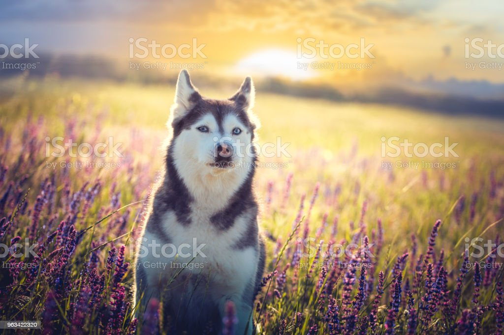Husky sitter i lila blommor på sunset bakgrund - Royaltyfri Blomma Bildbanksbilder