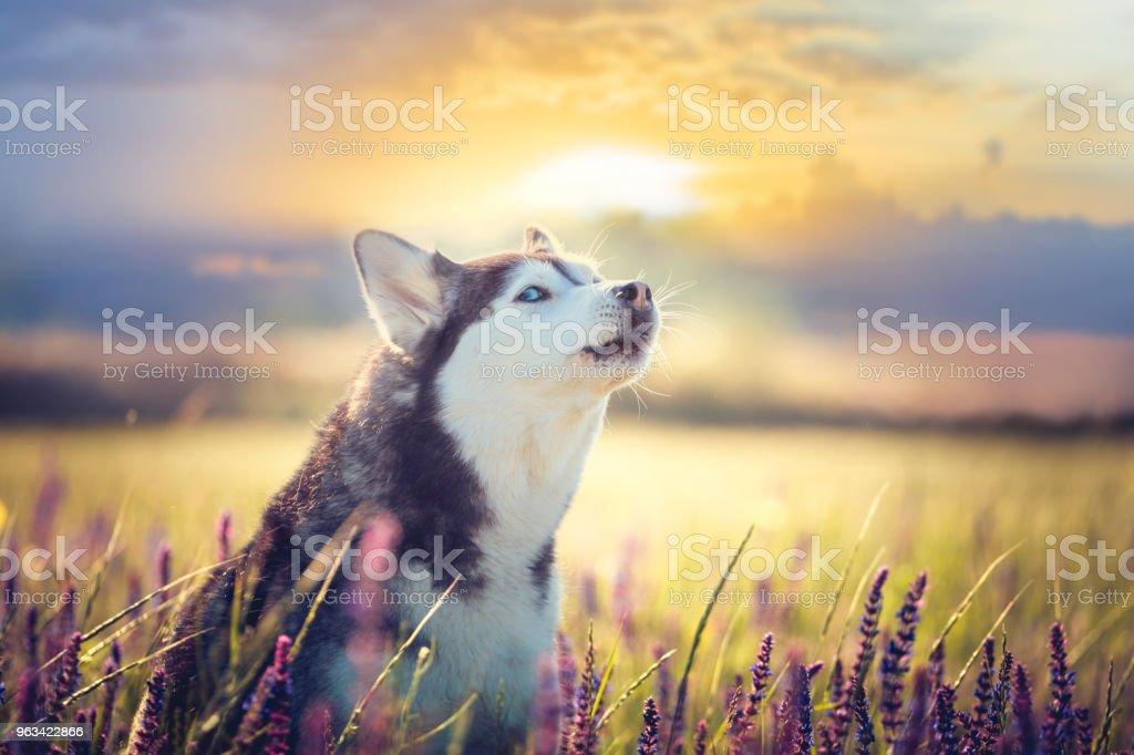 Husky siedzi w liliowych kwiatach na tle zachodu słońca - Zbiór zdjęć royalty-free (Bez ludzi)