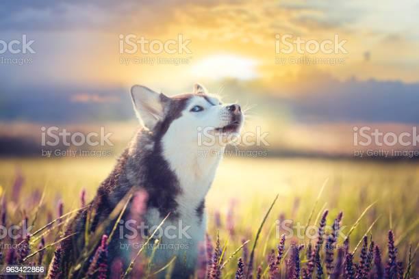 Husky Siedzi W Liliowych Kwiatach Na Tle Zachodu Słońca - zdjęcia stockowe i więcej obrazów Bez ludzi