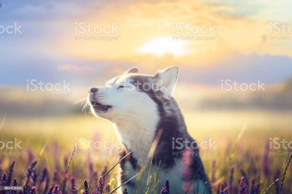 Husky assis dans les fleurs lilas sur fond de coucher de soleil - Photo de Animaux de compagnie libre de droits