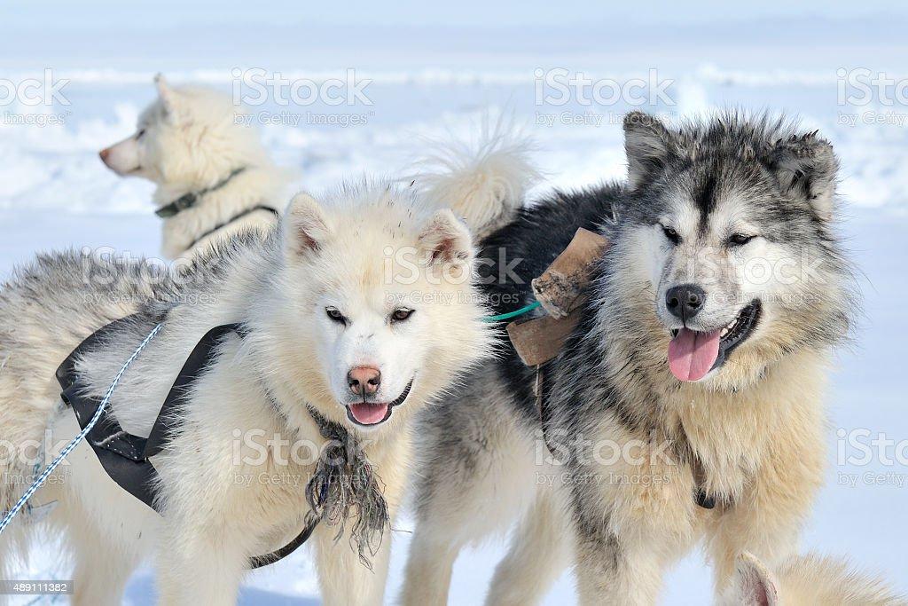 Husky sled dog in snow stock photo