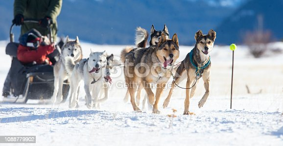 A team of Huskies pulling a sled through the snow. Taken in Canmore, Alberta