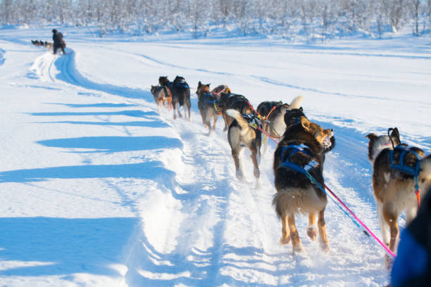 Husky sledding, Finland Husky sledding, Finland working animal stock pictures, royalty-free photos & images