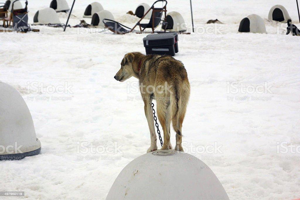 Husky standing on top of igloo, Norris Glacier, Juneau, Alaska royalty-free stock photo