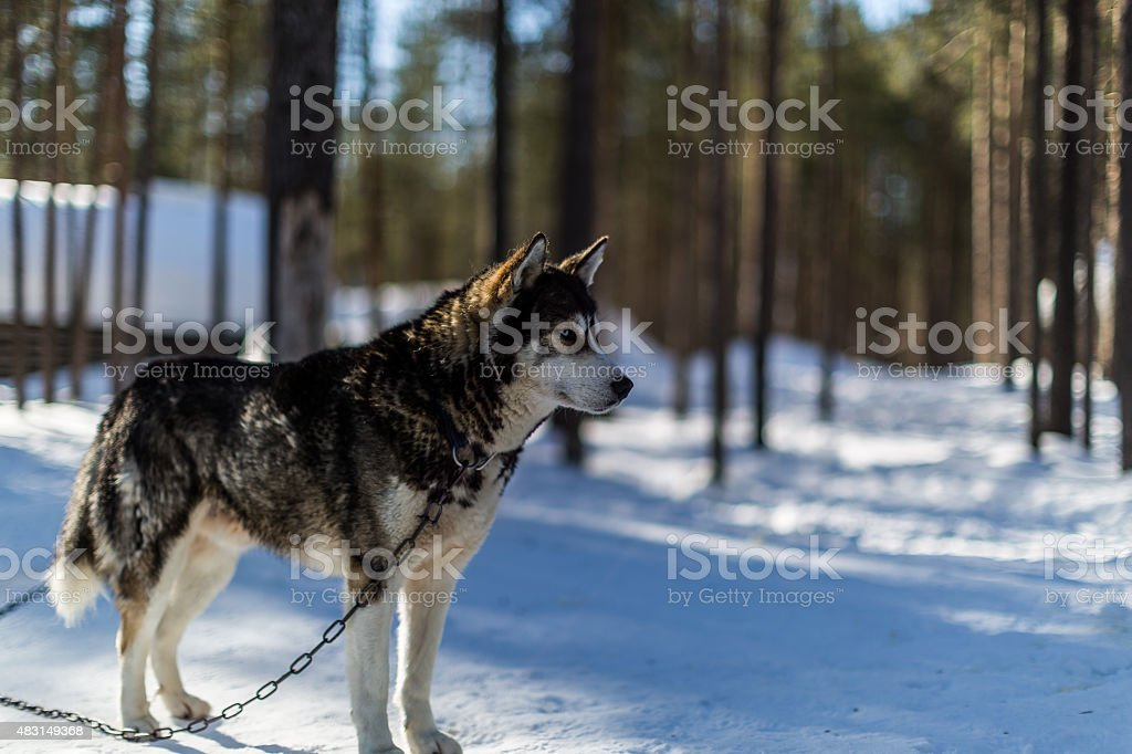 Husky Stare stock photo