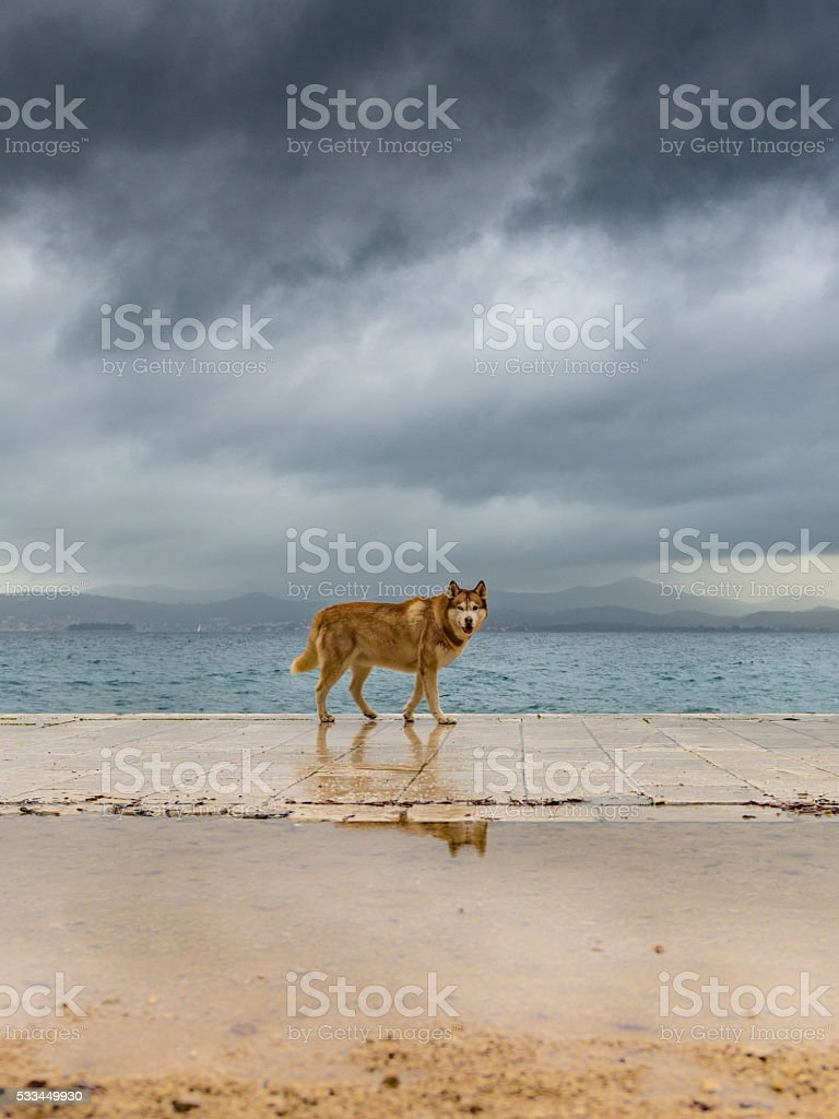 Husky, walking a coastal pavement under dark skies stock photo