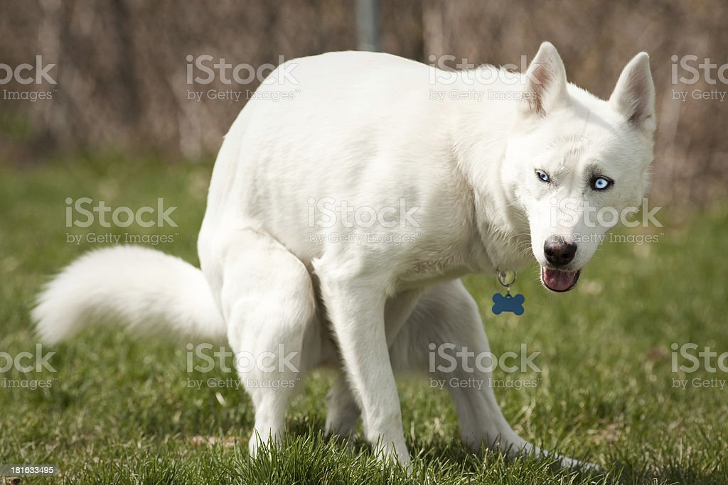 Husky with pooping in a dog park stock photo