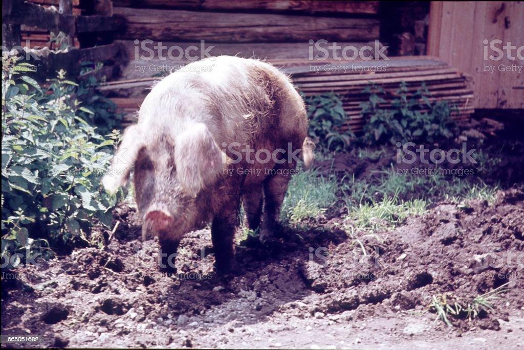 Husum pig, Germany stock photo