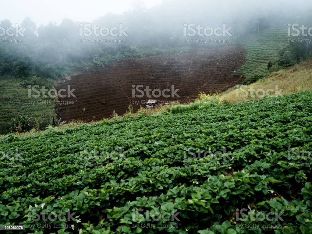 A Hut in Strawberry Plantation royalty-free stock photo