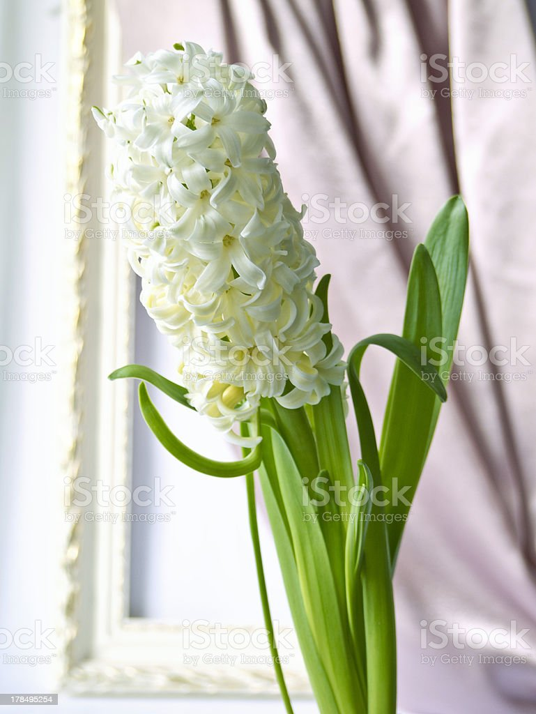 Hyacinth and a frame royalty-free stock photo