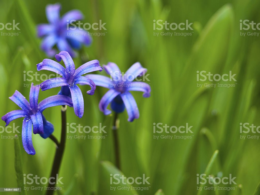 hyacinth background royalty-free stock photo