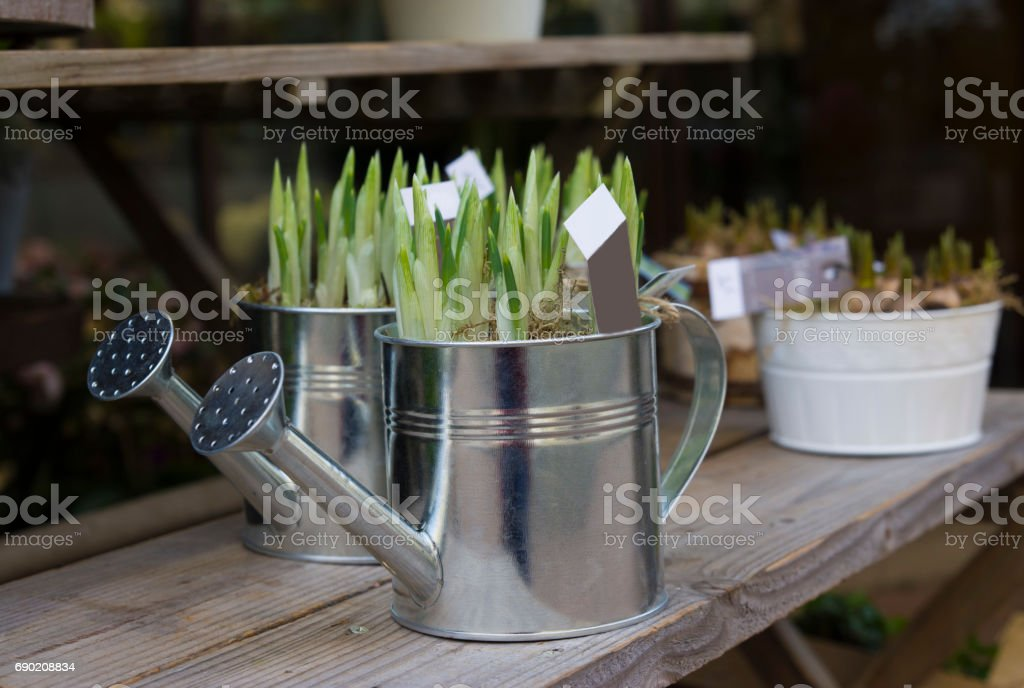 Hyacinth bulbs in the pots for planting spring stock photo