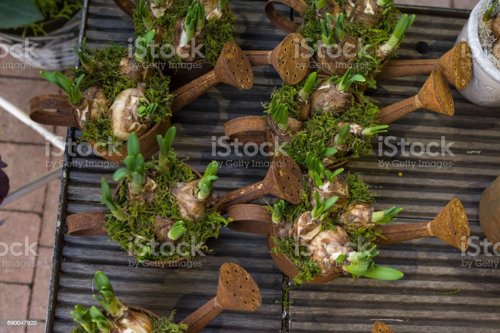 Hyacinth bulbs in the rusty pots for planting spring stock photo