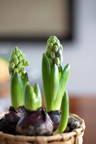 hyacinth bulbs stock photo