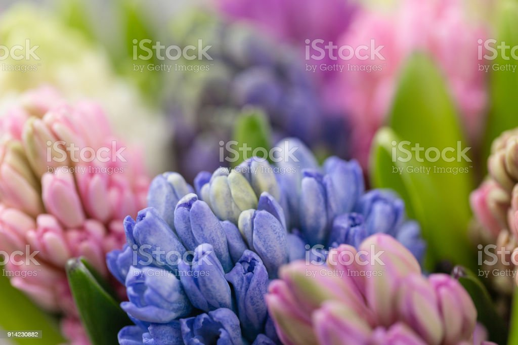 Hyacinth Closeup Flower Shop Concept Mixed Color Fresh Spring ...