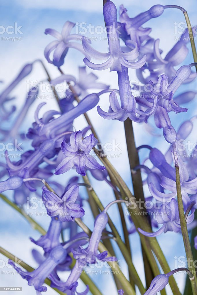 Hyacinth flower against blue sky royalty-free stock photo