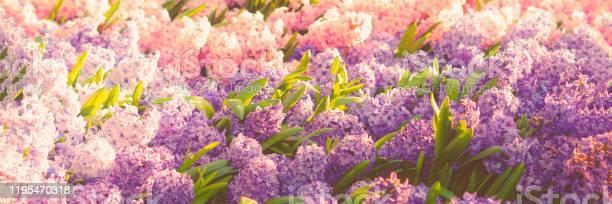 Hyacinth flower background picture id1195470318?b=1&k=6&m=1195470318&s=612x612&h=s dusr6baslmrnp9k0hr a 8gqzzp6pvkauq3kzulha=