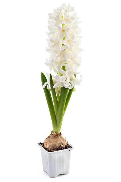 hyacinth flower seedlings - 히아신스 뉴스 사진 이미지