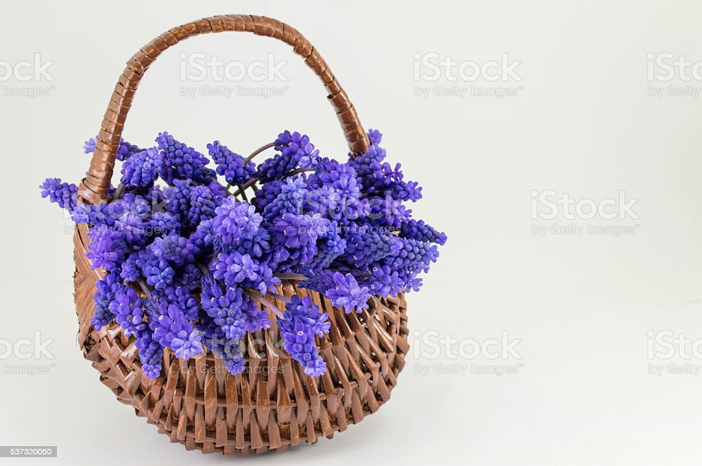 Hyacinth flowers in a basket. Romantic present stock photo