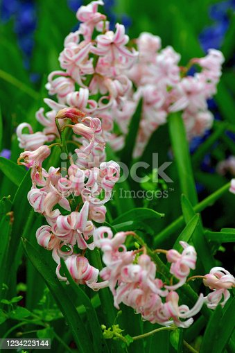 Hyacinth is highly fragrant flowers that bloom in spring in dense clusters. The bell-shaped, densely packed flowers come in shades of different colors, which include white, orange, yellow, pink, purple, red and blue.