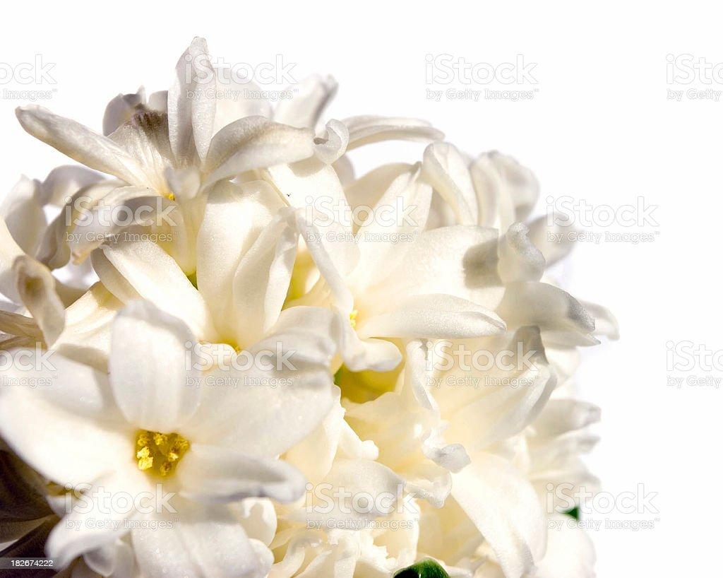 Hyacinth flowers royalty-free stock photo