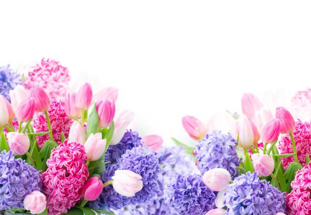 hyacint färska blommor - flower bouquet blue and white bildbanksfoton och bilder