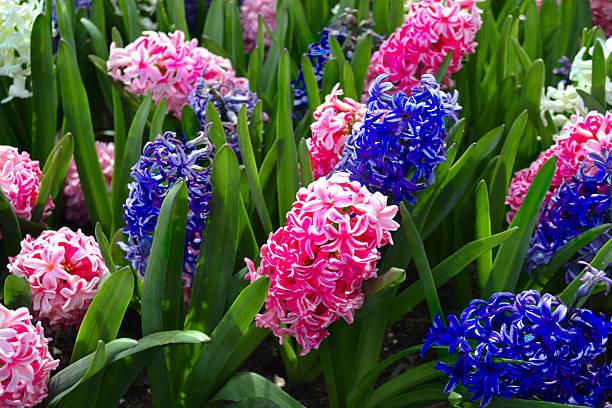 Hyazinthen im Frühling – Foto