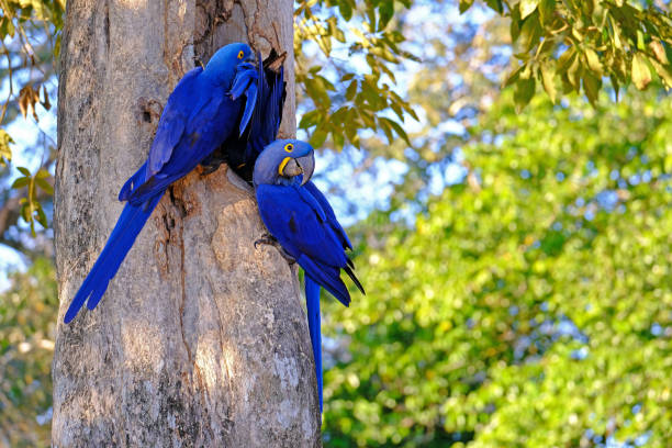 Hyacinth Macaw, Anodorhynchus Hyacinthinus, or Hyacinthine Macaw, Pantanal, Mato Grosso do Sul, Brazil stock photo