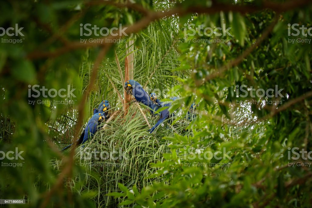 hyacinth macaw close up on a palm tree in the nature habitat stock photo