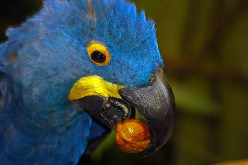 Blue Macaw eating a walnut