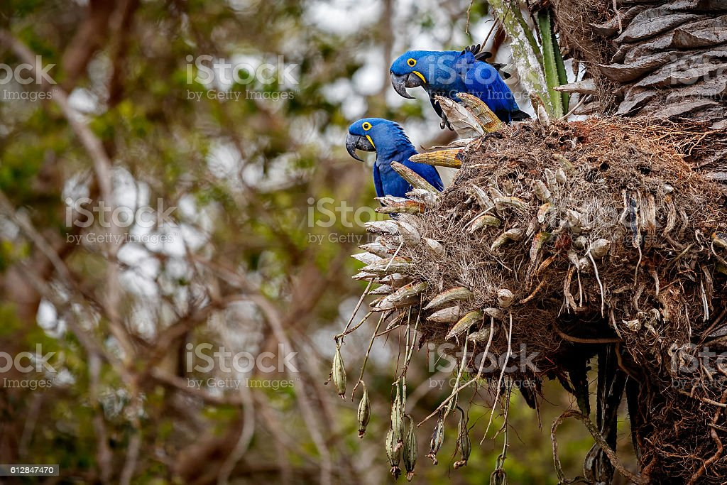 hyacinth macaw in the nature habitat stock photo