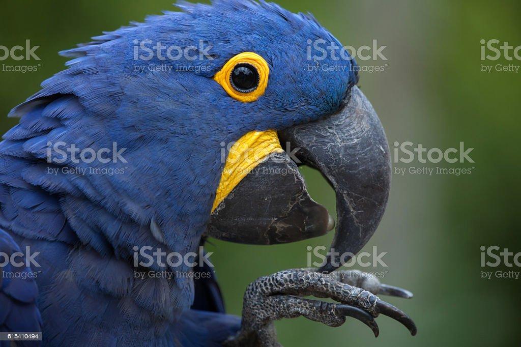 Famosos Banco de imagens e fotos de Arara Azul Grande - iStock BZ29