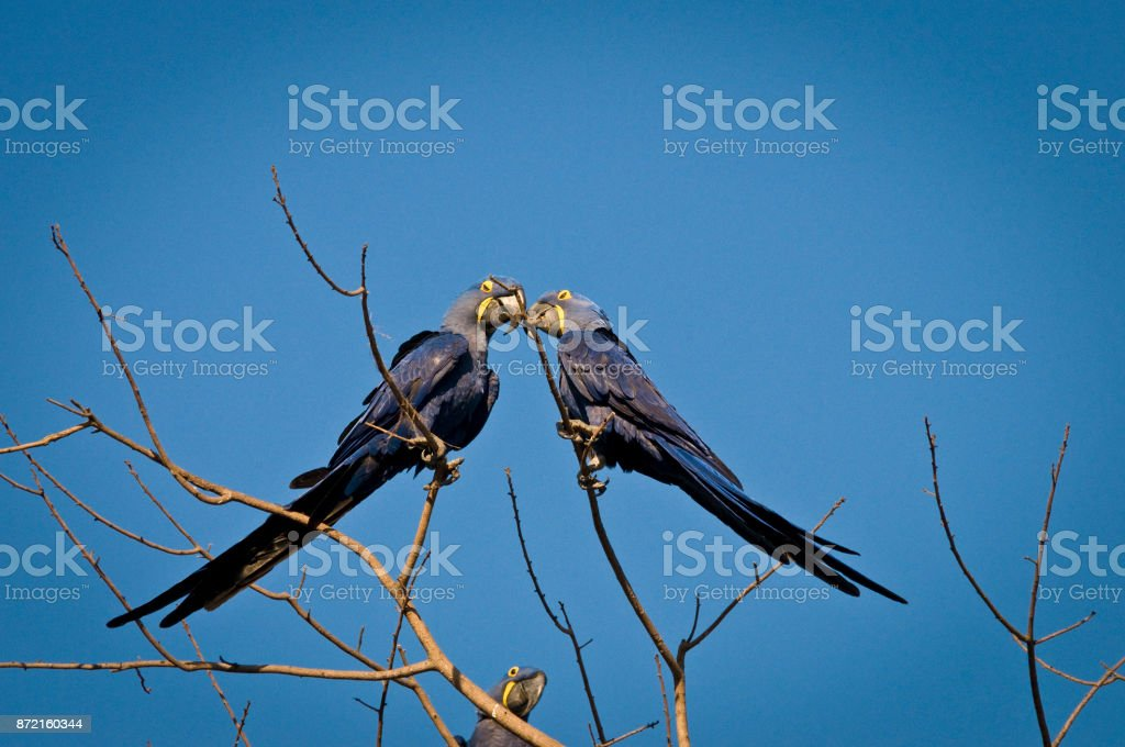 Arara-Azul-Grande (Anodorhynchus hyacinthinus) - foto de acervo