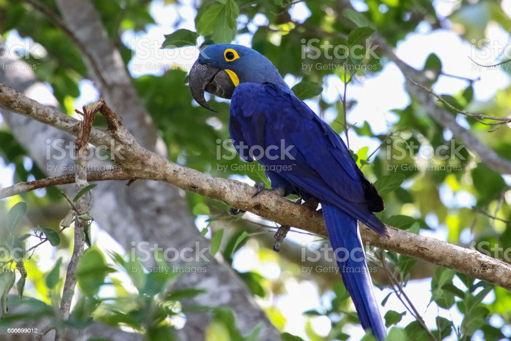 Hyacinth macaw sitting on a branch – Foto
