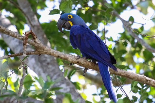 Hyacinth macaw sitting on a branch – Foto