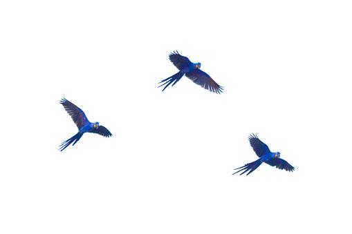 Hyacinth macaws flying