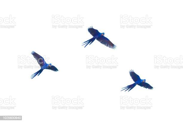 Hyacinth macaws flying picture id1025830940?b=1&k=6&m=1025830940&s=612x612&h=9ha 5rx8xzyhj 5lhd196db1rfwek5oinscj1f 9jyq=