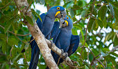 Close-up shot of Hyacinth Macaws