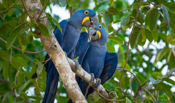 Hyacinth Macaws stock photo