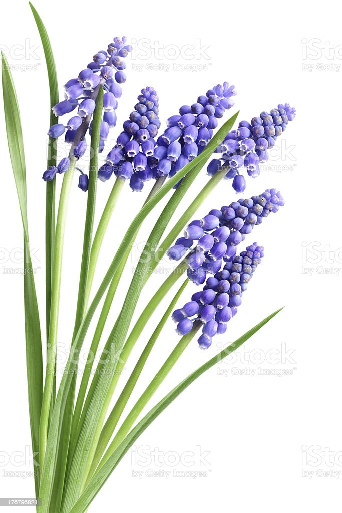 Hyacinth Muscari Flowers stock photo