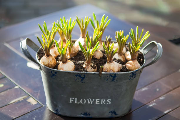 Hyacinth sprout in a pot Sprouted bulbs of plants in pots on the background. Selective focus, backlight plant bulb stock pictures, royalty-free photos & images