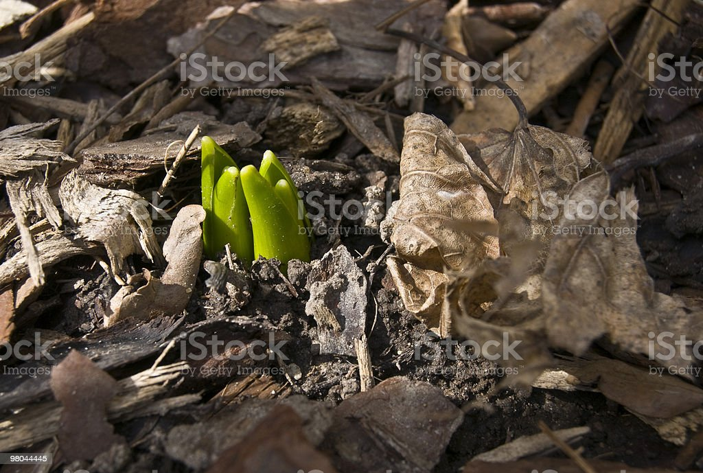 Hyacinth Sprouting Through Soil and Leaf royalty-free stock photo