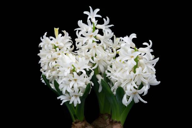 Hyacinth White stock photo
