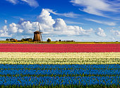 Colorful hyacinth fields in front of a traditional Dutch windmill and a small house under a nice cloudy sky. The colors of the hyacinths together form the colors of the Dutch flag, red white blue.