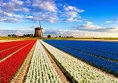 Colorful hyacinth fields in front of a traditional Dutch windmill under a nice cloudy sky. The colors of the hyacinths together form the colors of the Dutch flag, red white blue.