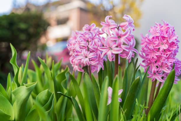초원에 봄 히 - 히아신스 뉴스 사진 이미지