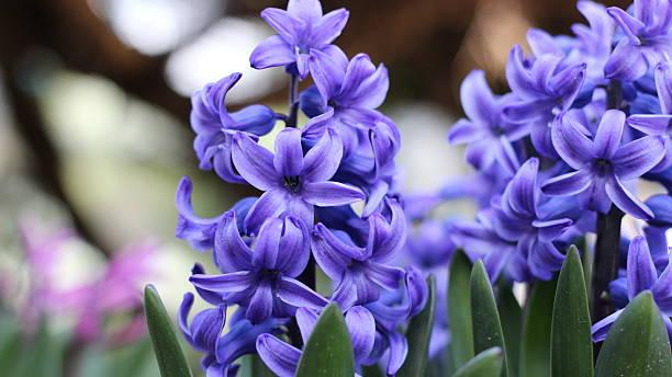 hyacinths - 히아신스 뉴스 사진 이미지