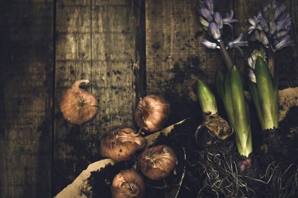 hyacinths  - plante à bulbe photos et images de collection