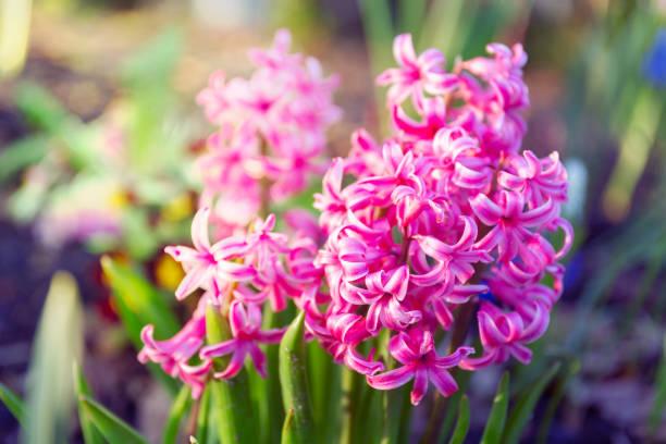 hyacinthus, 분수 공장 - 히아신스 뉴스 사진 이미지