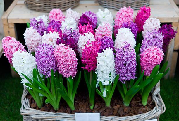 hyacinthus orientalis 판매 및 디스플레이 스탠드 - 히아신스 뉴스 사진 이미지